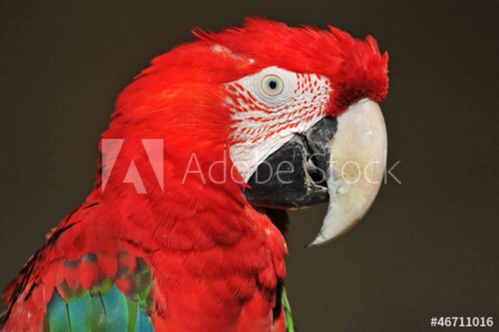 Papagei im Profil©Christian Maurer - stock.adobe.com