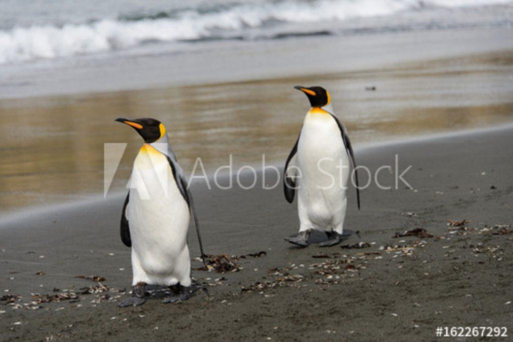 Königspinguine; ©seafarer81 - stock.adobe.com
